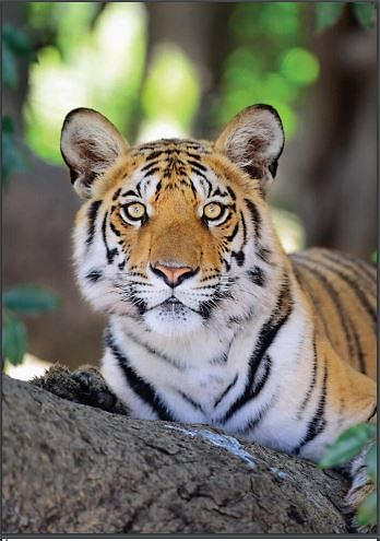 India has 70% of world's tiger population