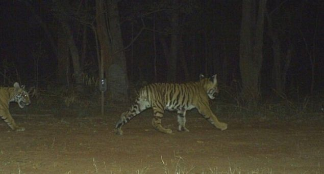 The Indian tiger population jumped from 2,226 in 2014 to 2,967 in 2018