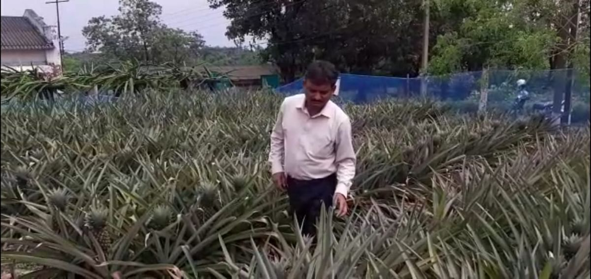 Senior researcher Biswajit Das at the ICAR pineapple orchard