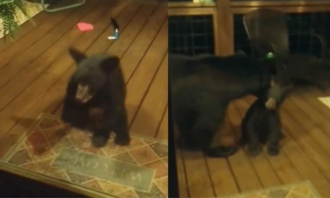 The video of a bear cub trying to peek inside the home of a family in North Carolina is going viral on the internet
