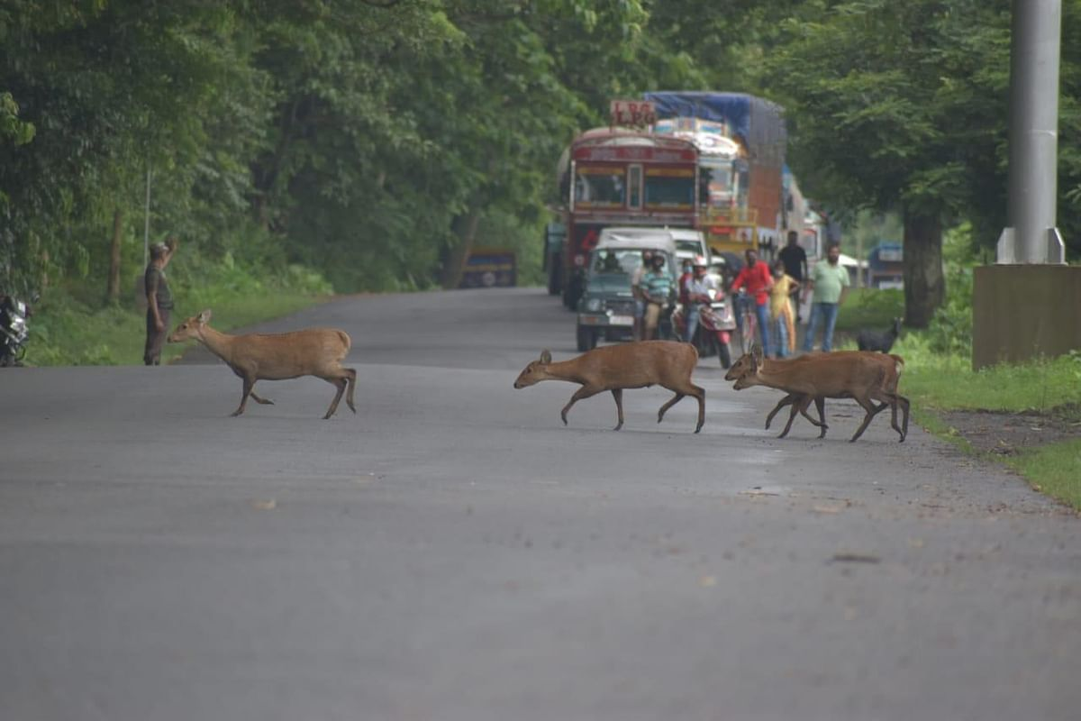 Altogether 106 hog deer have died (50 due to drowning, 20 due to vehicle hit) among others till Tuesday