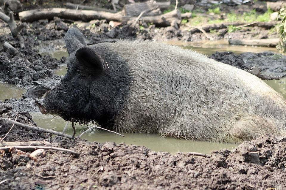 Deadly and highly contagious African Swine Flu poses a serious threat not only to pig industry but the entire economy of NE