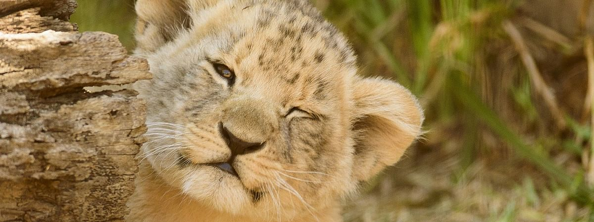 The mother lioness is named Pari and her partner is named Jai