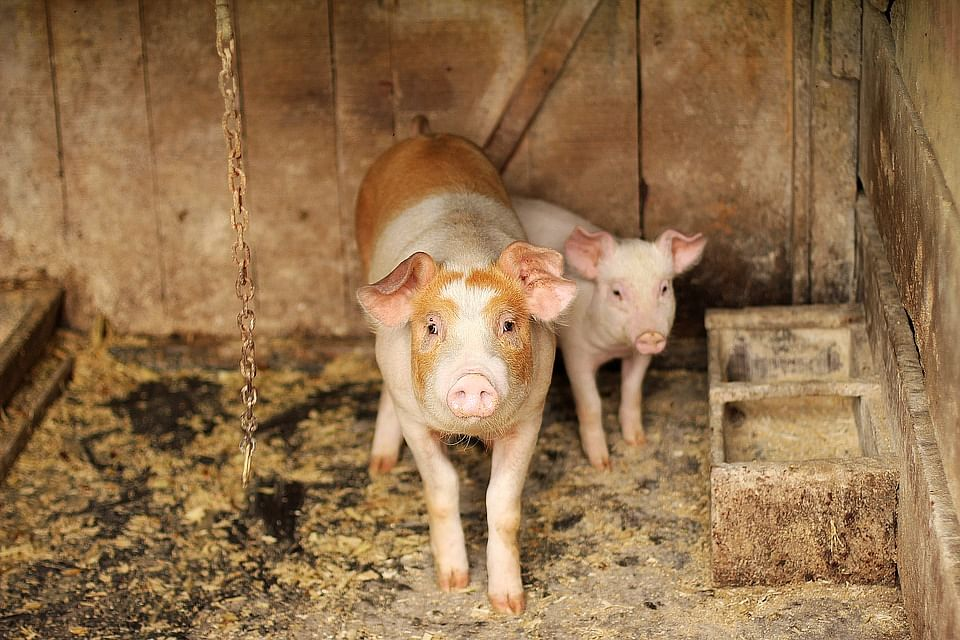 Pig farmers of the Northeast are facing severe problem due to the present crisis