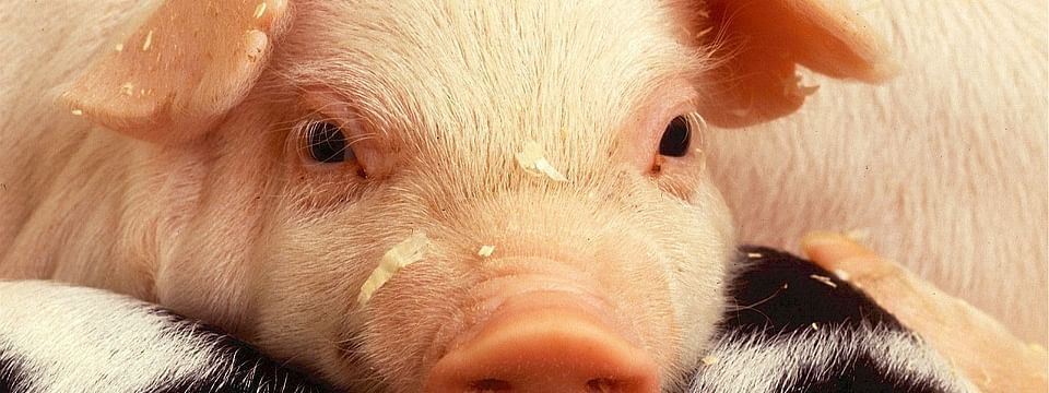 The deadly and highly contagious African swine fever poses a serious threat not only to the pig industry but the entire economy of Northeast India