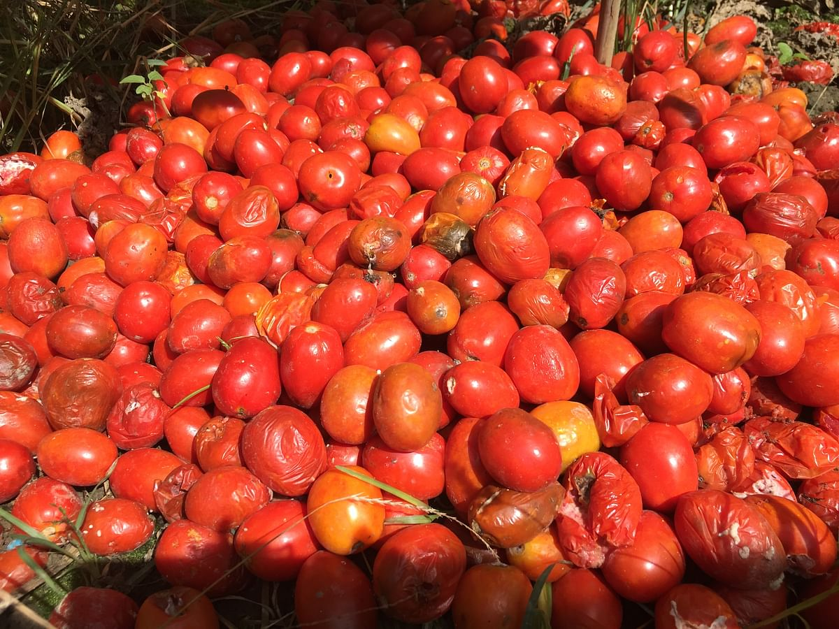 Huge quantity of tomatoes rotting away in the fields