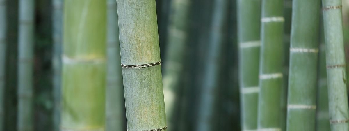 The event will explore bamboo and its versatility