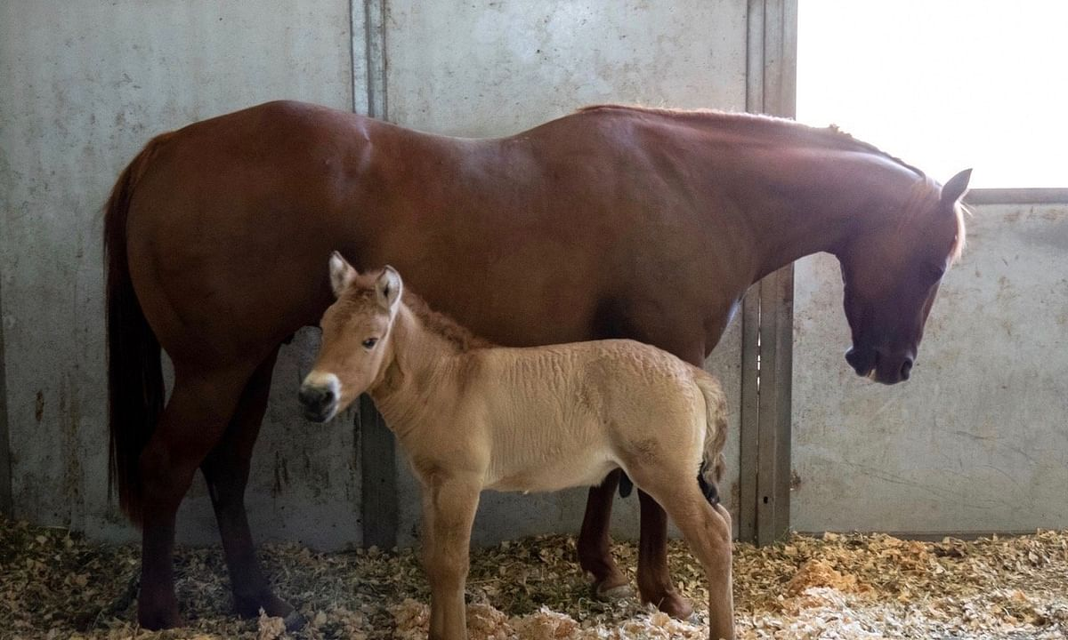 The cloned Przewalski's foal stands beside his surrogate mother, a domestic mare