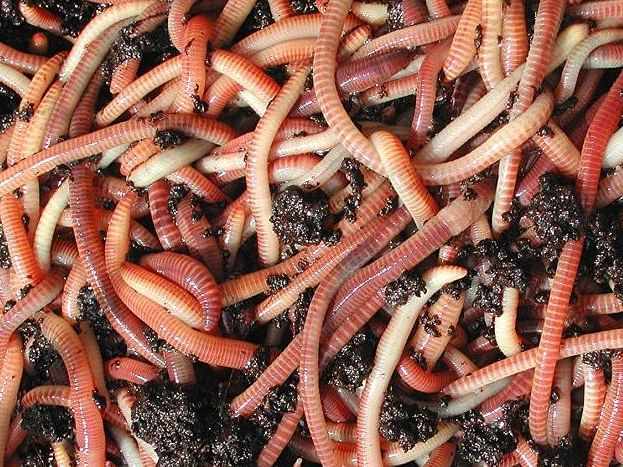 Unusual Earthworm swarming in Nepal sign of impending earthquake? scientists think so