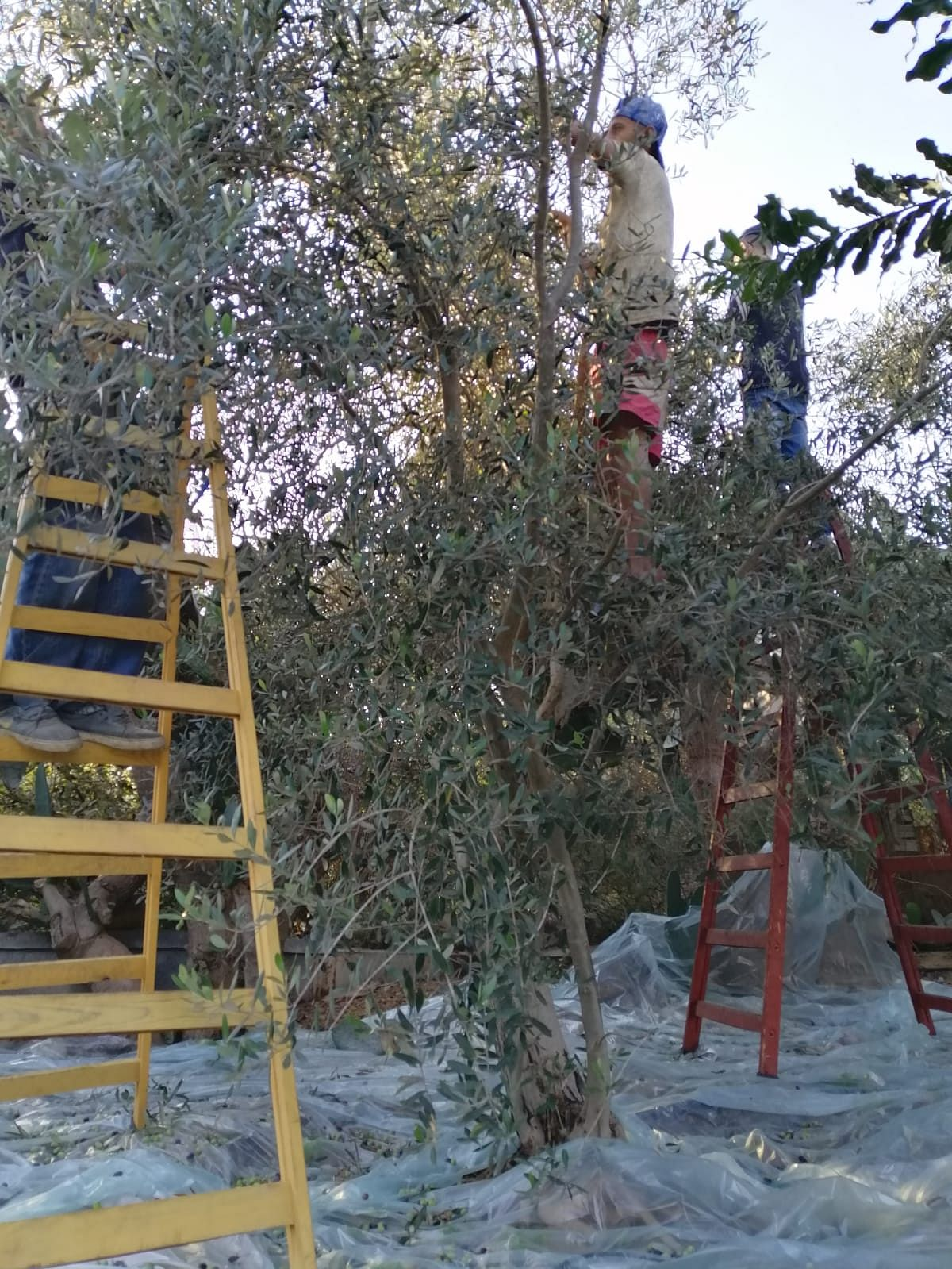 It is a common vision of finding at least one olive tree in each house in Palestine