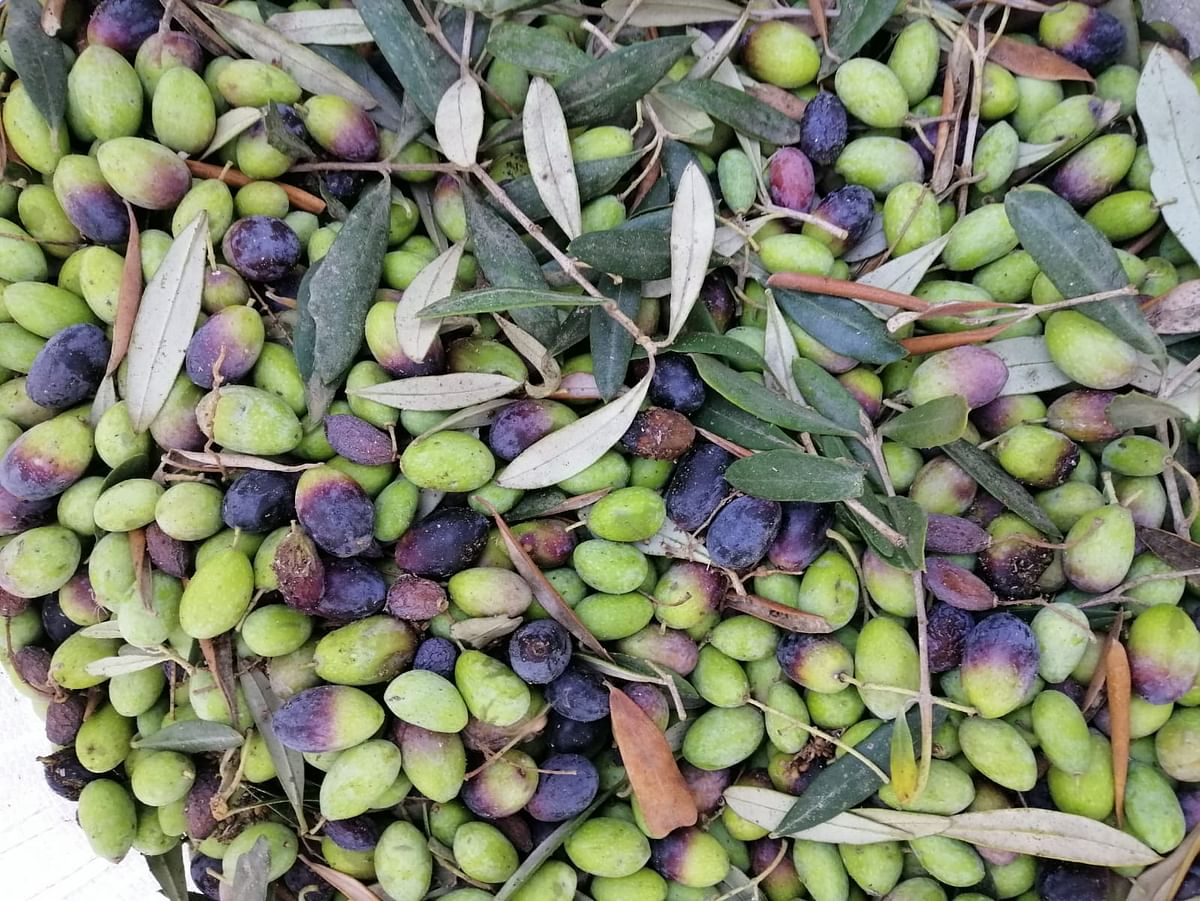 Olives are considered as the sun in Palestinian life
