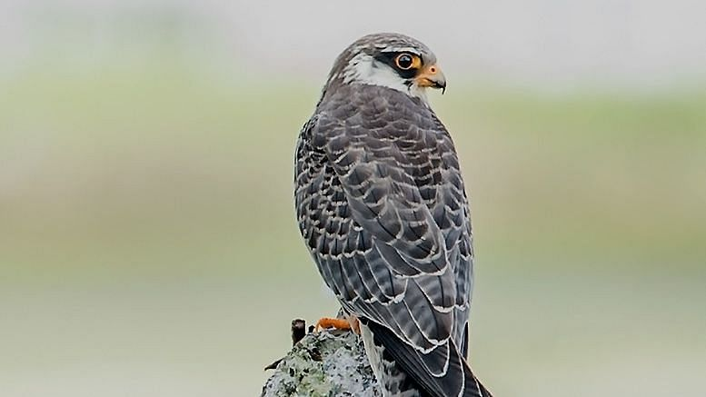 Amur Falcon: The most successful conservation story in the world from India's Northeast