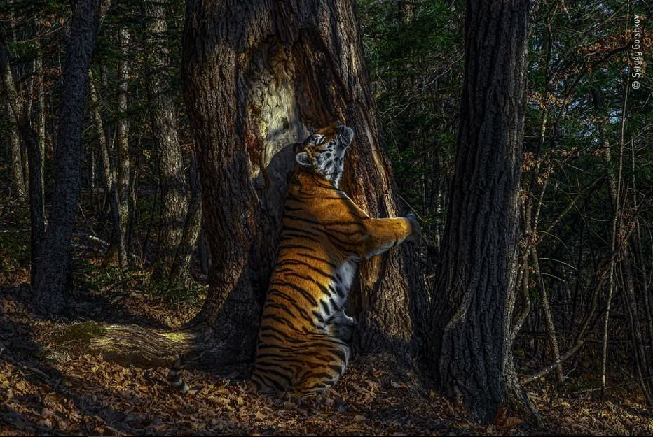 Sergey Gorshkov's intimate photo of the Siberian tigress hugging the tree in the Russia Far East had won the judges over