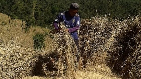 Amid pandemic, Manipur-based outfit harvest 8,000 kgs of rice