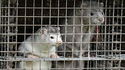 COVID-19: About 17 million mink to be culled in Denmark amid fear of new strain