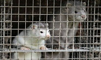 According to the authorities, the positive cases have been spreading fast in Denmark with as many as 207 mink farms being affected in Jutland alone