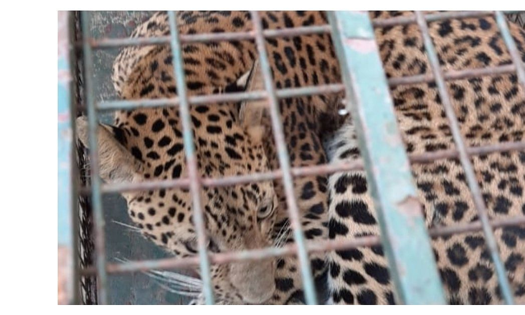 The leopard was first spotted by a local at around 6 in the morning