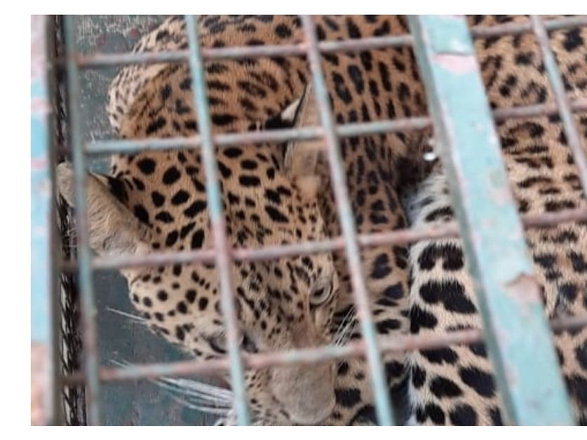 WATCH: Strayed leopard rescued from Guwahati