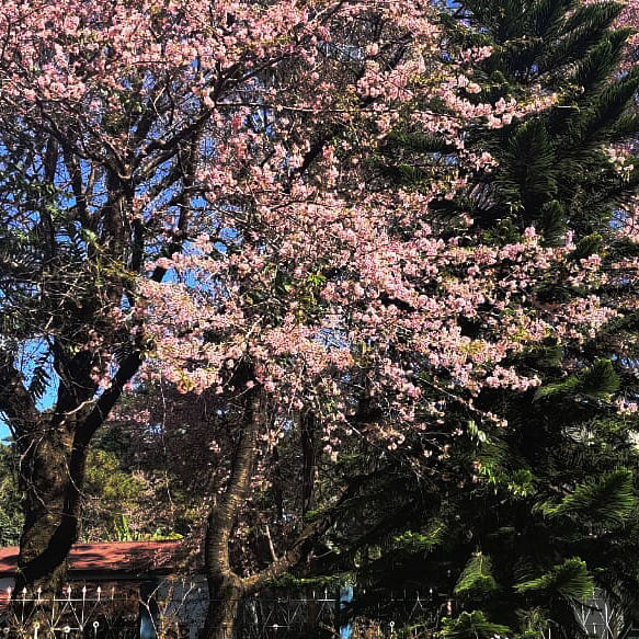 IN PICS: Meghalaya turns pink in cherry blossom season