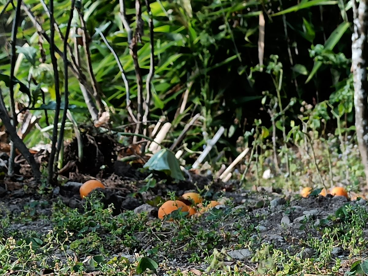 Sikkim's fallen oranges: How the 'kanchi keera' is infesting plantations