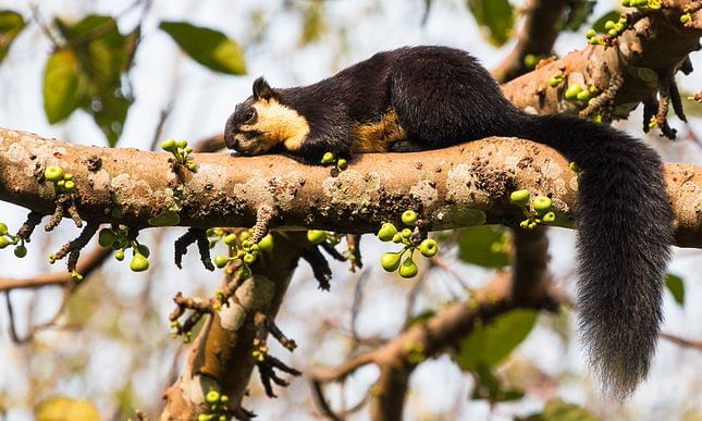 The giant squirrel's habitat is facing multiple threats for destruction