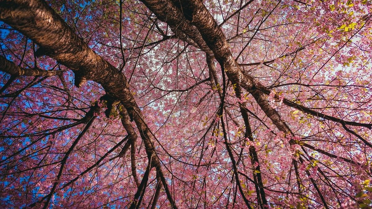 Patience can be a fickle thing. A three-hour drive from Dimapur to Kohima and then another hour to Kisama Heritage village felt like a lifetime in comparison to eight years of waiting to finally see the pink blossom