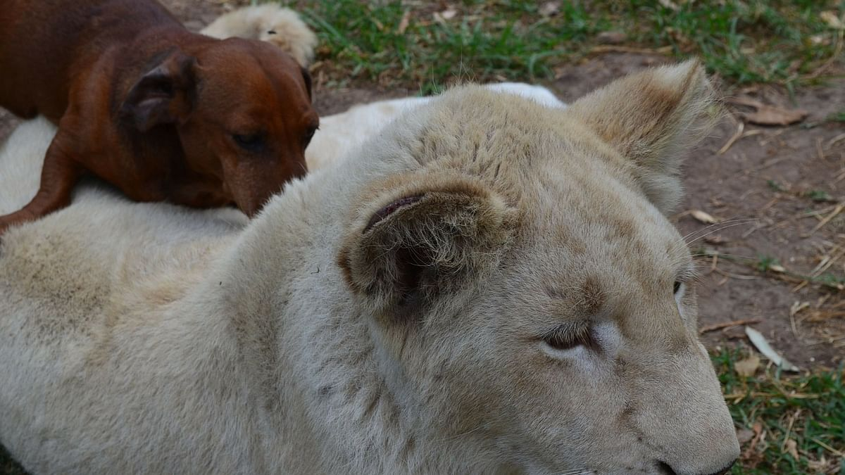 Watch how a dog fights a lioness in this viral video