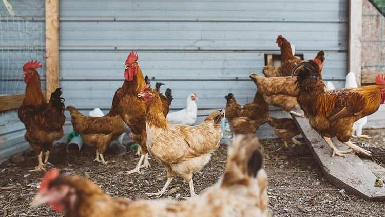 Tripura sounds alert for farm surveillance amid bird flu scare