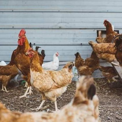 Sikkim bans poultry products from other states for a month