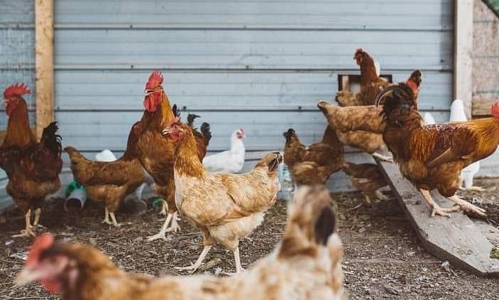 The temporary ban of import poultry and poultry products has been implemented across the state