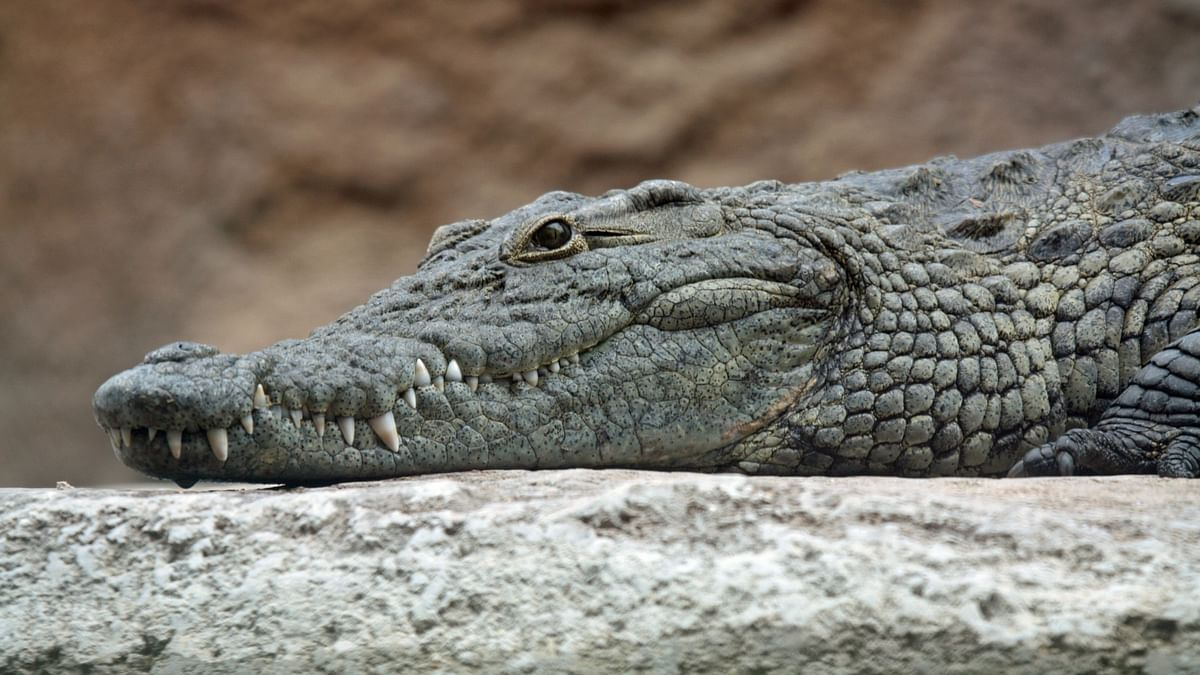 Crocs have barely evolved in 200 million years. Here's why