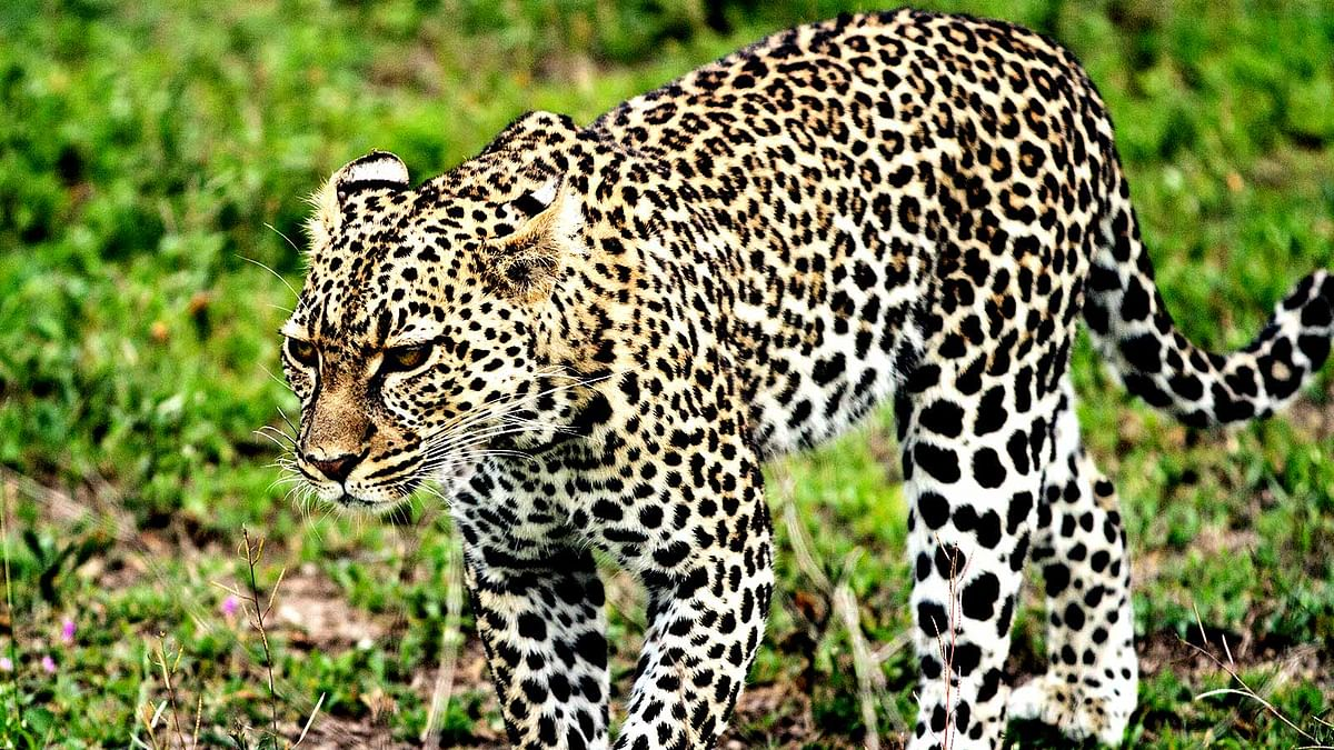 Woman fights off leopard with bare hands in Bengal tea garden