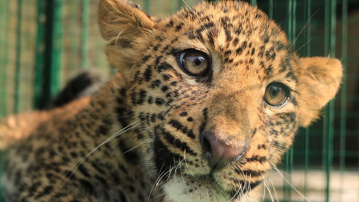 Watch: Leopard cub returns to the wild after receiving treatment at Wildlife SOS