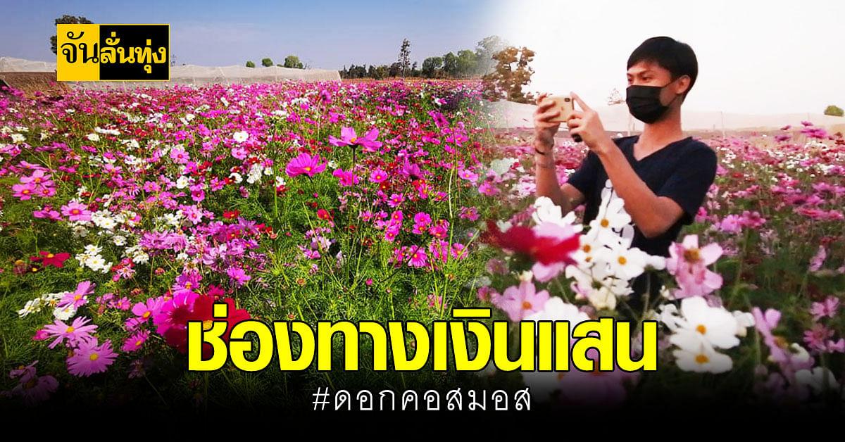 ชาวบ้าน นครพนม เฮ ! ปลูกดอก คอสมอส โกยเงินนับแสนต่อเดือน