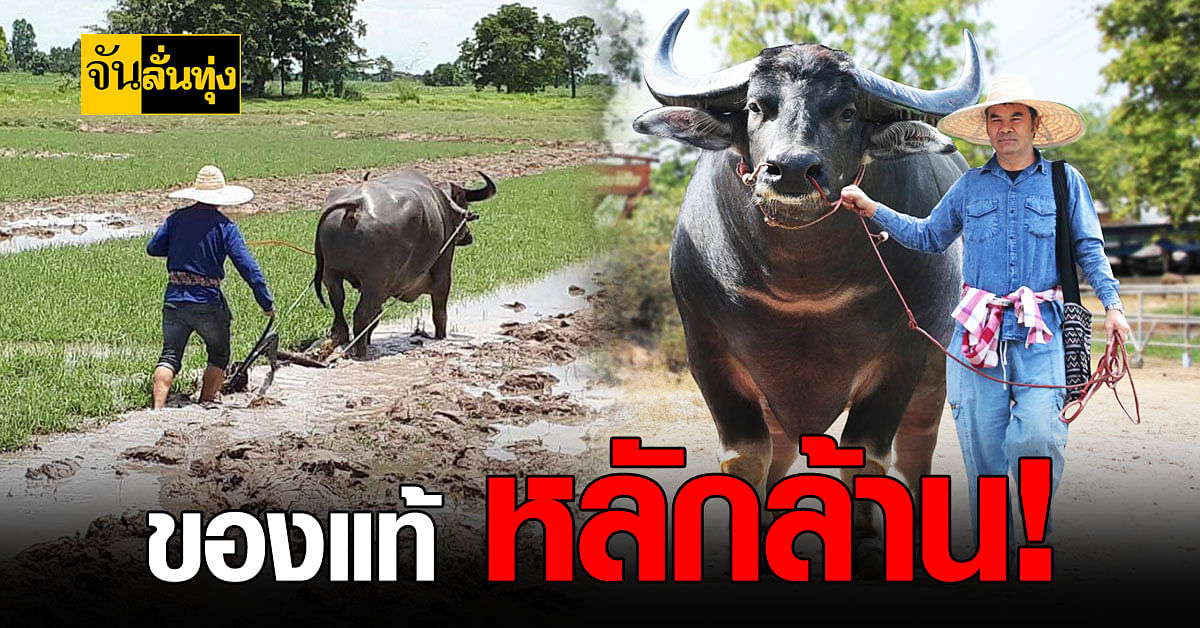 เกษตรกร พิษณุโลก อนุรักษ์ ควายไทย พร้อมขาย รายได้ดี