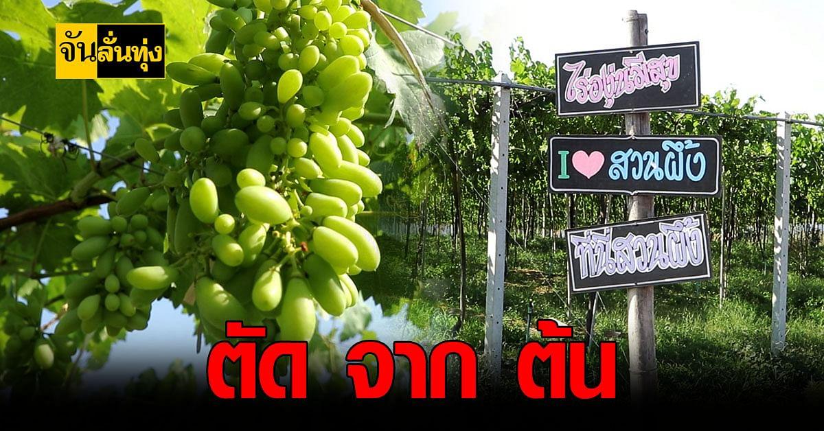 เกษตรกร ราชบุรี เปิดให้ นักท่องเที่ยว ตัด องุ่น สดจากไร่