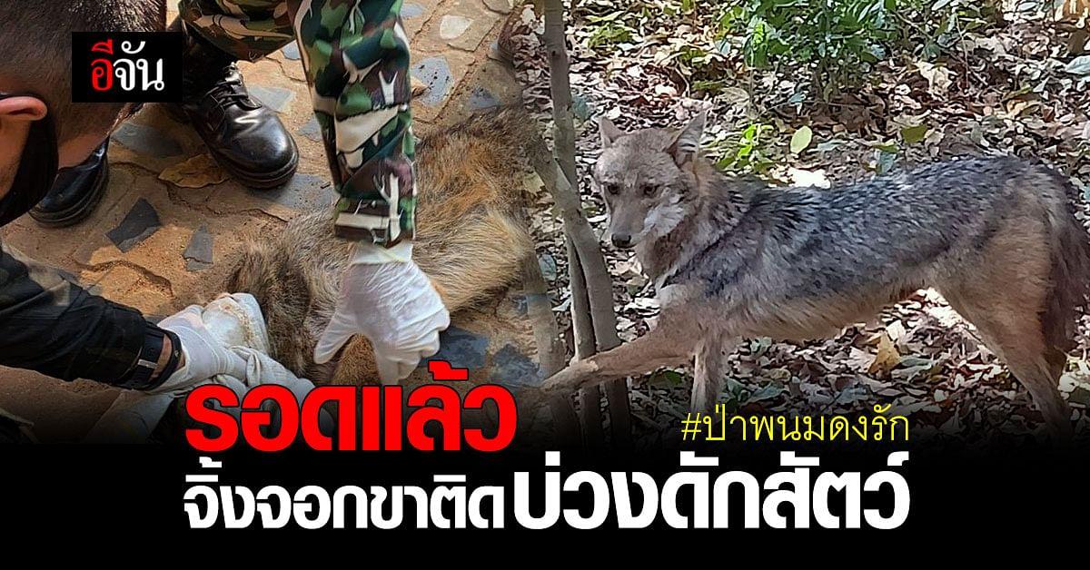 เจ้าหน้าที่เข้าช่วยเหลือ 2 จิ้งจอก ขาติดบ่วงดักสัตว์ ในป่าพนมดงรัก