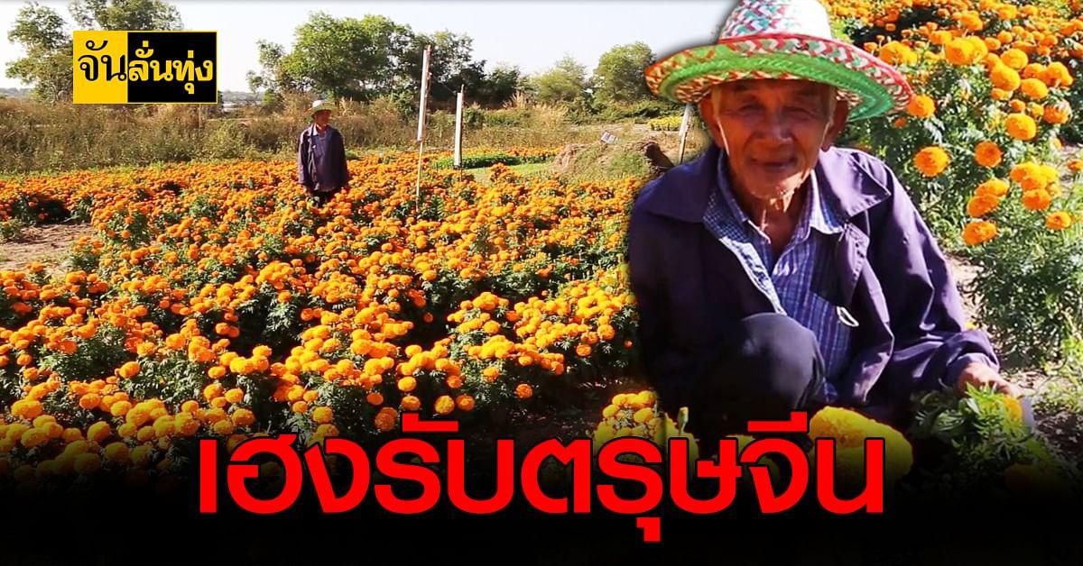 เกษตรกร นครพนม ยิ้มรับทรัพย์ปลูก ดอกดาวเรือง ฟันรายได้นับแสน