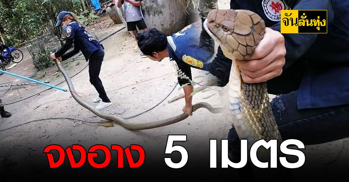 ระทึก สาวกู้ภัยบุกจับ งูจงอาง ยาวใหญ่ไซซ์ 5 เมตร