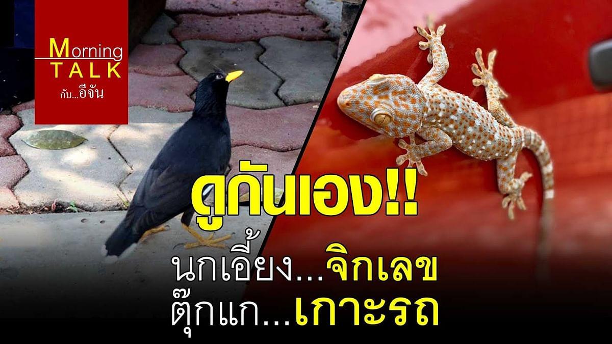 (Video) ดูกันเอง!!นกเอี้ยง...จิกเลข ตุ๊กแก...เกาะรถ