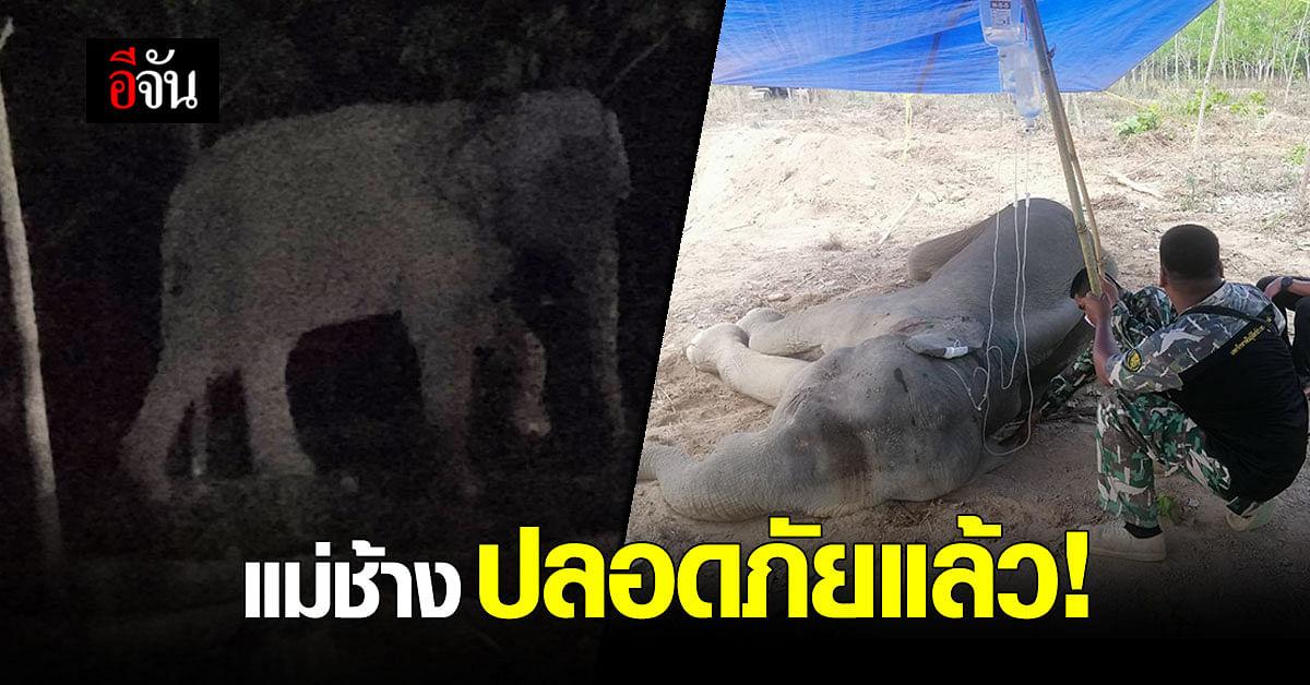 ปลอดภัยแล้ว! แม่ช้าง ล้มป่วยในสวนยางพารา