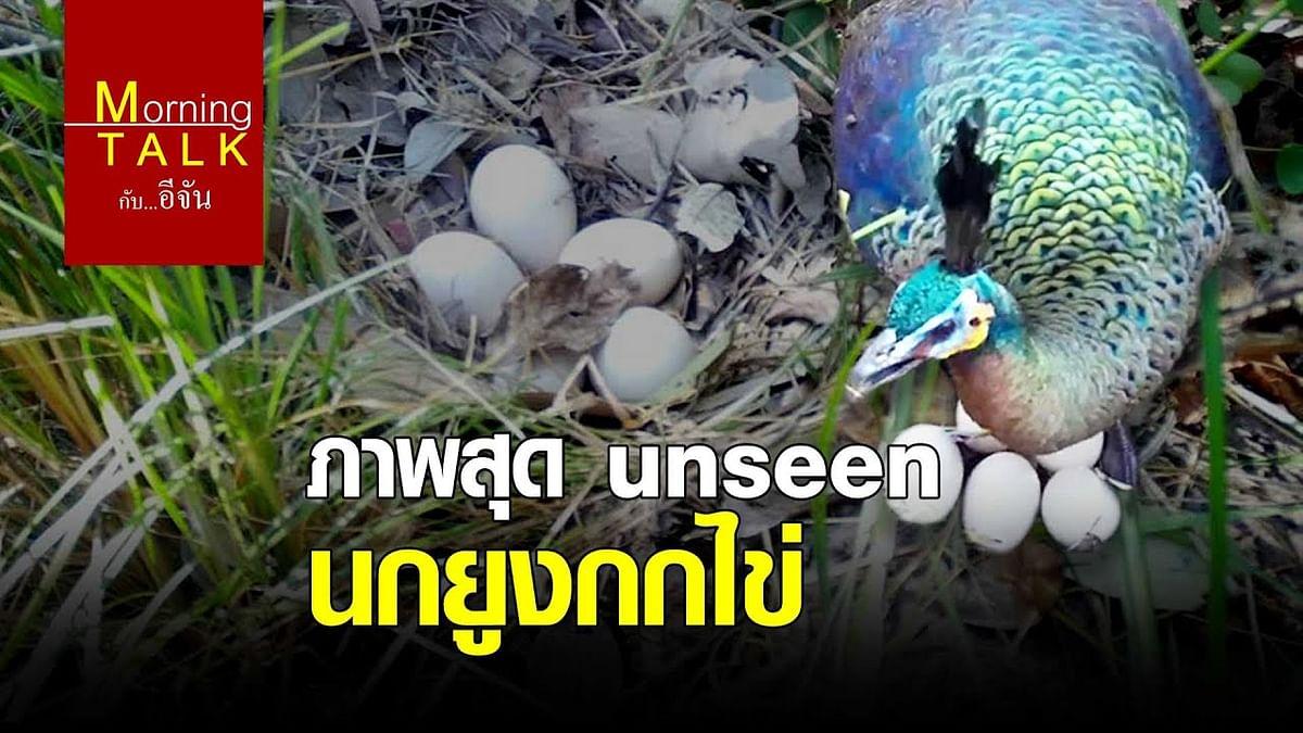 (Video) ภาพสุด unseen นกยูงกกไข่