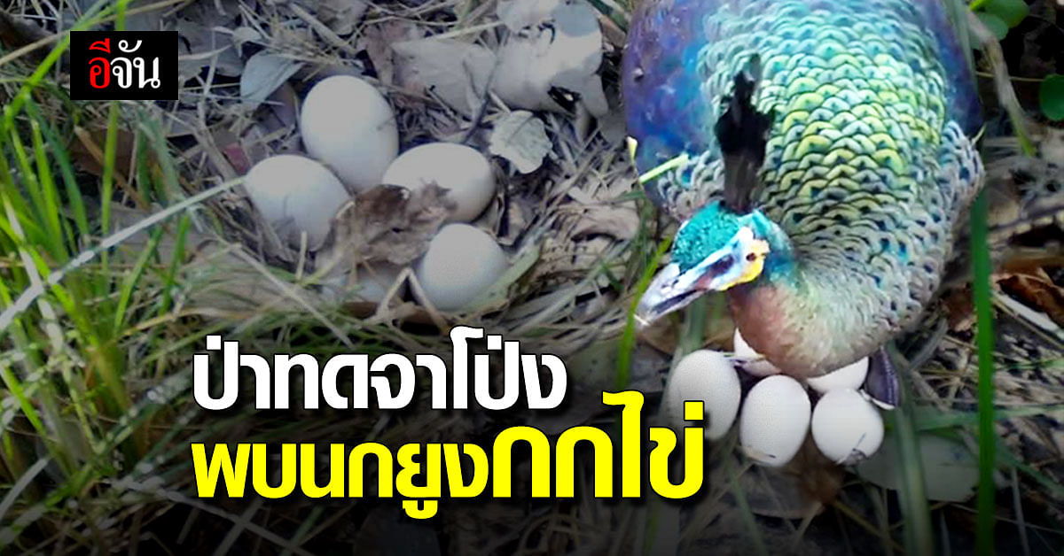 สุดตื่นเต้น เจ้าหน้าที่ สอบ.9 พบนกยูงกกไข่ ในป่าทดจาโป่ง