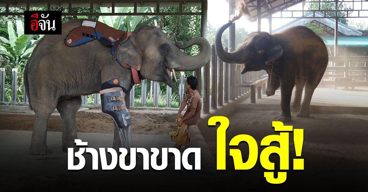 อัปเดตชีวิต! พังโม่ชะ ช้างไทยใส่ขาเทียม เชือกแรกของโลก