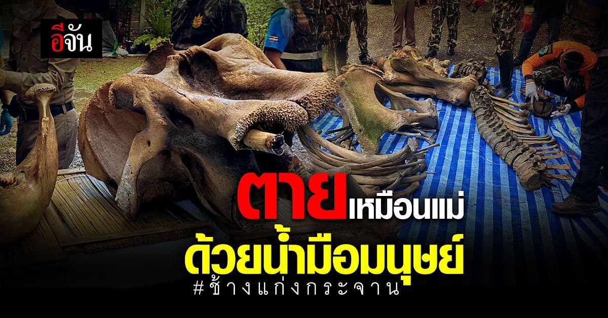 อ่านแล้วจุก... ลูกช้างกำพร้า โดดเดี่ยว ในป่าแก่งกระจาน 2 ปีต่อมา ถูกรุมยิงฆ่าอย่างทารุณ