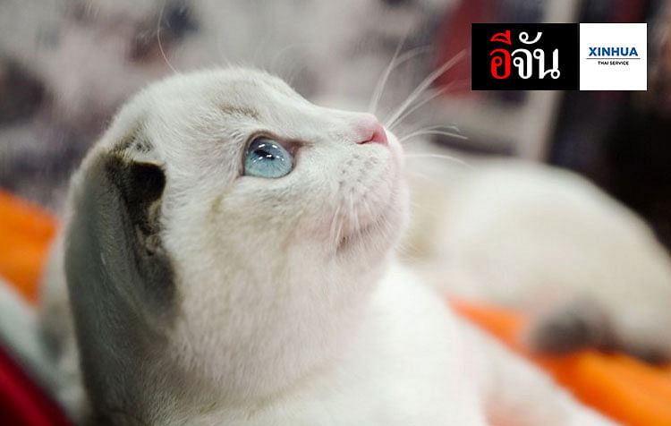แมวน้อยในงานประกวดแมว กรุงมอสโก เมืองหลวงของรัสเซีย