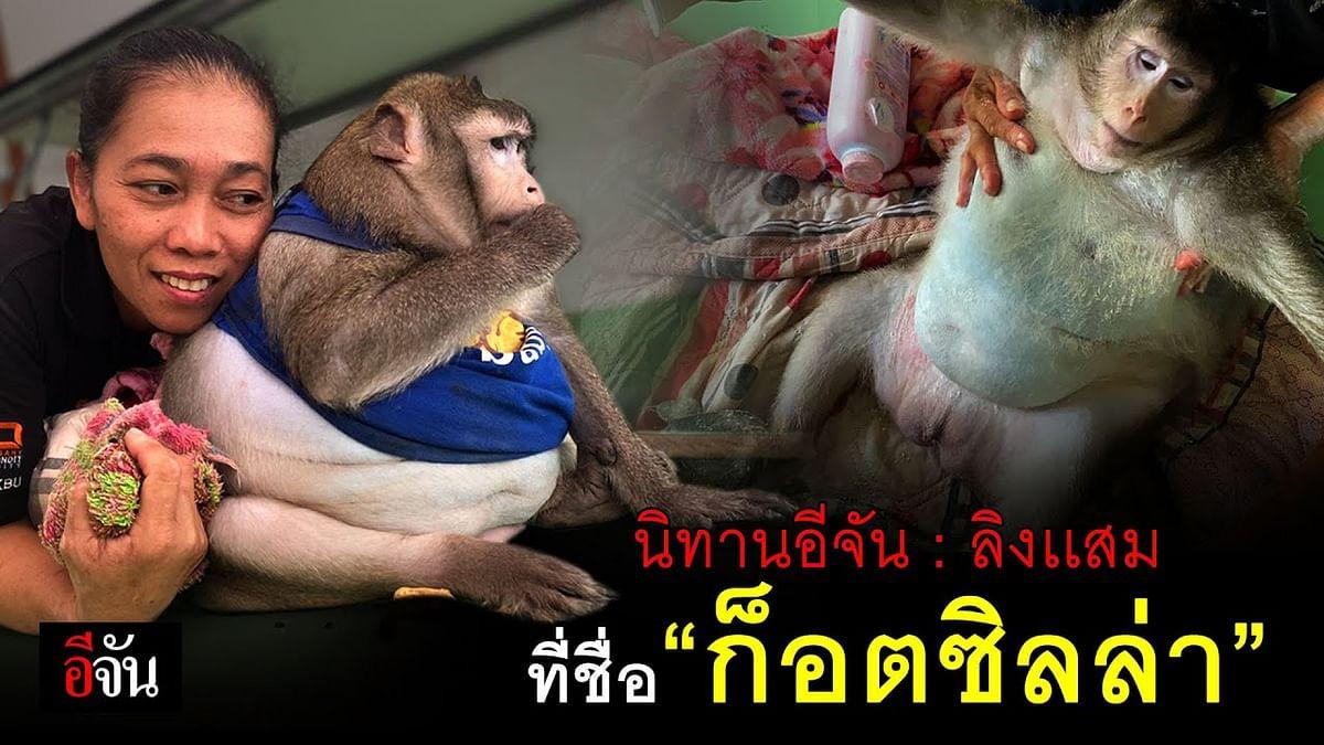 (Video) รู้จักมั้ย ลิงเเสมที่ชื่อ #ก็อตซิลล่า