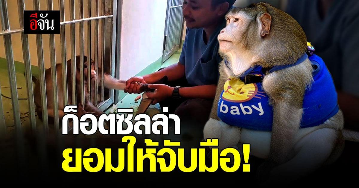 น้ำหนักลงแน่! ลิงก็อตซิลล่า เริ่มไว้ใจสัตวบาล ยอมให้จับมือ