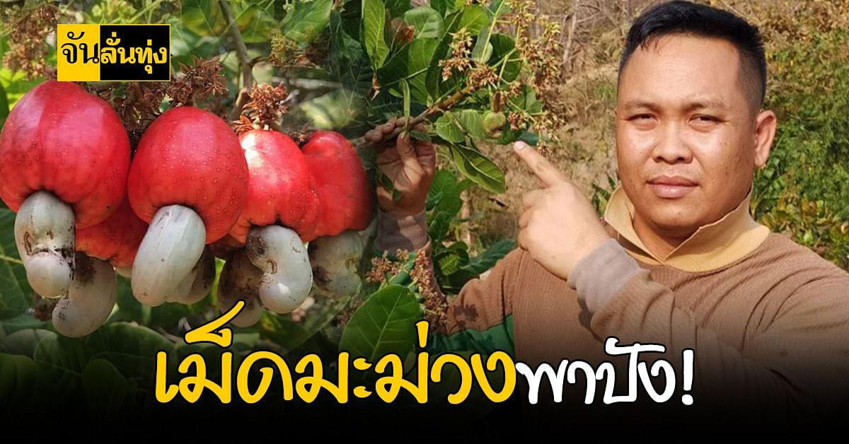 หนุ่มน่าน สานฝัน พัฒนาสายพันธุ์ เม็ดมะม่วงหิมพานต์ นาน 8 ปี!