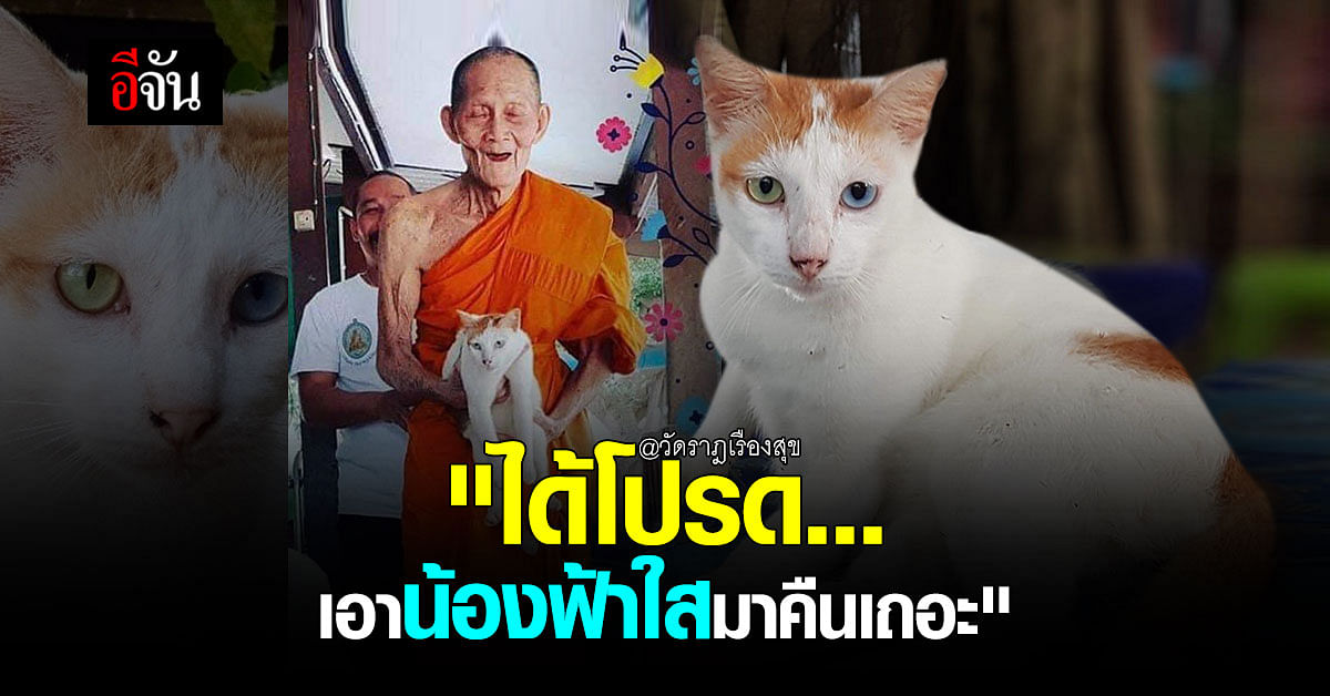 แมวหาย 8 วัน ยังไม่เจอ! เจ้าฟ้าใส แมวสวย ตา 2 สี หลวงปู่ฮก วัดราฎเรืองสุข ชลบุรี